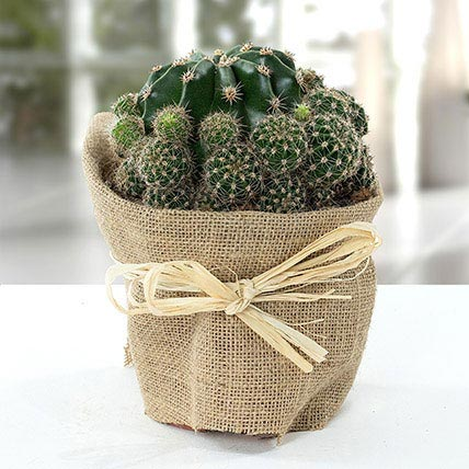 Elegant Cactus with Jute Wrapped Pot: Outdoor Plants