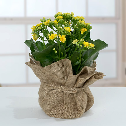 Jute Wrapped Yellow Kalanchoe Plant: Cactus and Succulents Plants