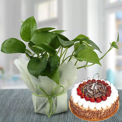 Money Plant and Blackforest Cake Combo: Gifts Combos