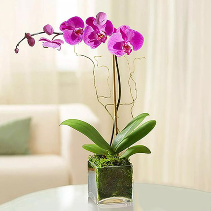 Purple Orchid Plant In Glass Vase: New Arrival Gifts
