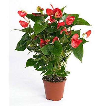 Red Anthurium Plant: Mothers Day Gifts to Umm Al Quwain