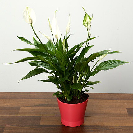 Spathiphyllum Plant In Pink Ceramic Pot: Indoor Plants