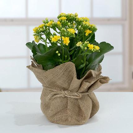 Jute Wrapped Yellow Kalanchoe Plant: Shrubs