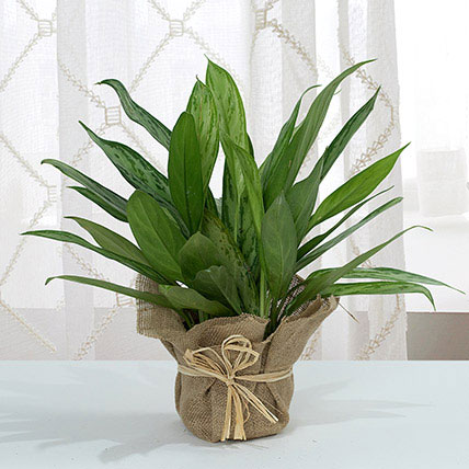 Aglaonema Jute Wrapping Pot: Lucky Plants