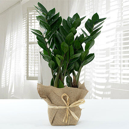 Jute Wrapped Zamia Potted Plant: Outdoor Plants to Ras Al Khaimah