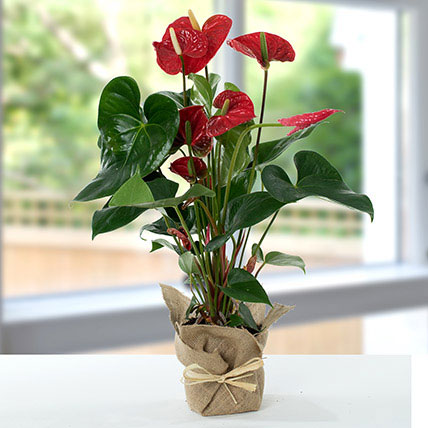 Red Anthurium Jute Wrapped Potted Plant: Anthuriums