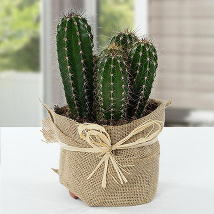 Cactus Jute Wrapped Potted Plant: Outdoor Plants to Ajman