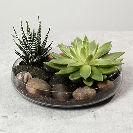Green Echeveria and Haworthia with Natural Stones: Outdoor Plants to Ajman
