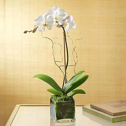 White Orchid Plant In Glass Vase: Same Day Plants Delivery