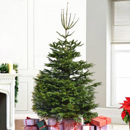Fresh Xmas Tree: Christmas Trees