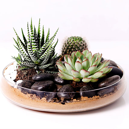 Combo of 3 Plants In Clear Glass Platter: Dish Gardens
