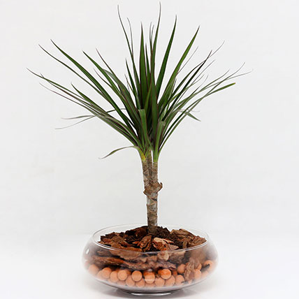 Dracaena Plant In Clear Glass Pot: Air Purifying Plants