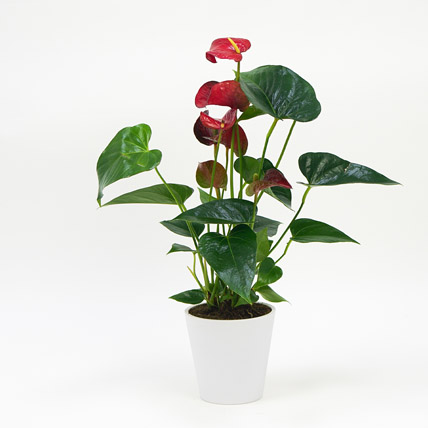 Red Anthurium In Ceramic Pot: Flowering Plants