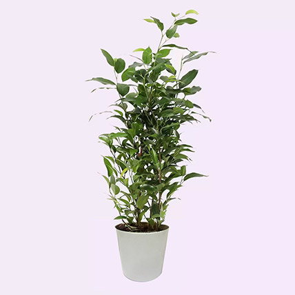 Ficus Plant In Ceramic Pot: Air Purifying Plants
