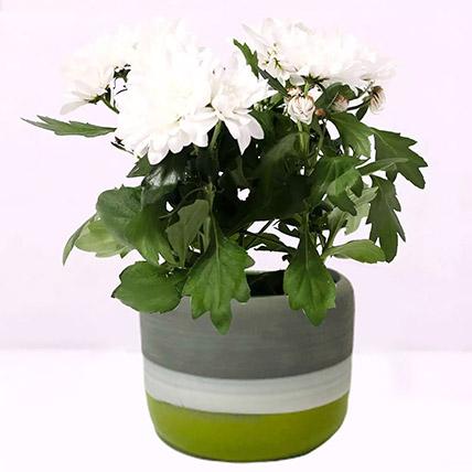 White Chrysanthemum Plant in Ceramic Pot: Flowering Plants