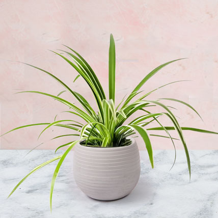 Chlorophytum Plant In Ceramic Pot: Air Purifying Plants
