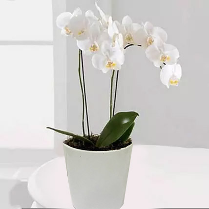 White Phalaenopsis Orchid Plant: Newborn Baby Gifts