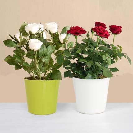 Red and White Rose Plant: Flowering Plants