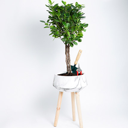 Ficus Microcarpa Moclame with Gardening Tools: Indoor Bonsai Tree