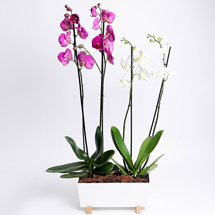 Phalaenopsis In White Metal Pot: Singles Day Gifts