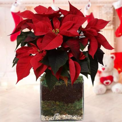 Poinsettia Plant: Outdoor Plants