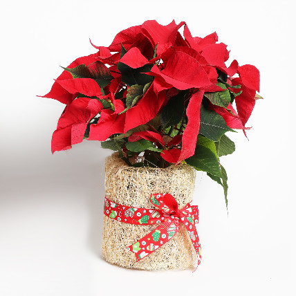 Poinsettia Plant in Natural Jute: Christmas Tree