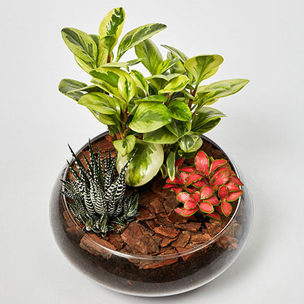Fittonia With Peperomia & Haworthia In Platter Planter: