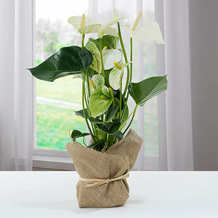 White Anthurium Jute Wrapped Potted Plant: Flowering Plants