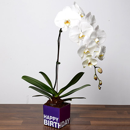 White Phalaenopsis Plant For Birthday: Indoor Plants
