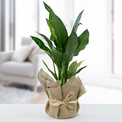 Jute Wrapped Aglaonema Plant: Outdoor Plants To Qatar