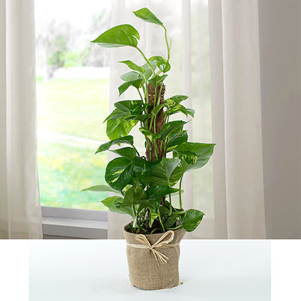 Jute Wrapped Epipremnum Aureum Plant: Indoor Plants To Qatar