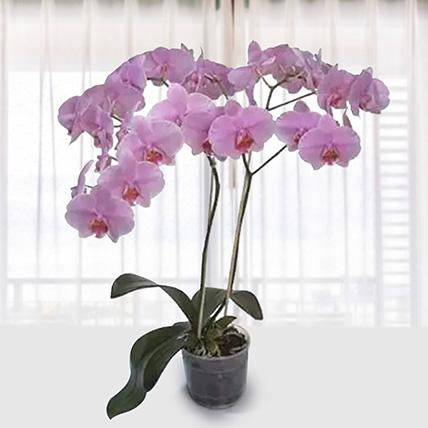 Pink Phalaenopsis Orchid Plant: Send Indoor Plants To Qatar