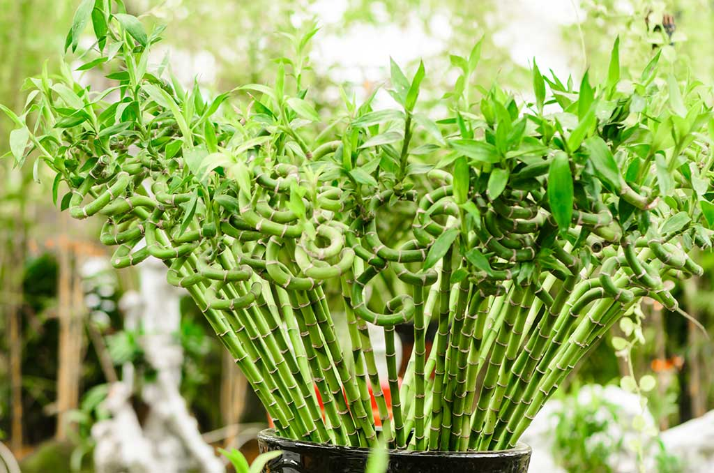 interesting-facts-about-lucky-bamboo