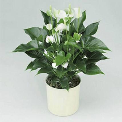 Online White Anthurium Plant